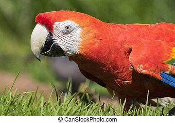 Scarlet macaw - Portrait of a colorful Scarlet Macaw parrot