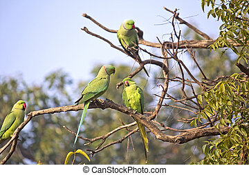 Parakeets on tre tree branches in Vrindavan