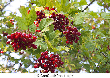 Arrowwood on the branch, red and ripe