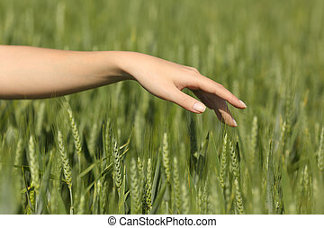 Woman hand touching softly wheat in a field - Close up of a...