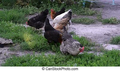 chickens pecking at food in the yard - chickens pecking at a...