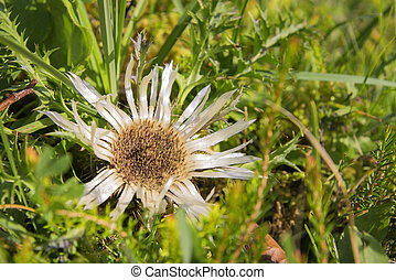 silver thistle
