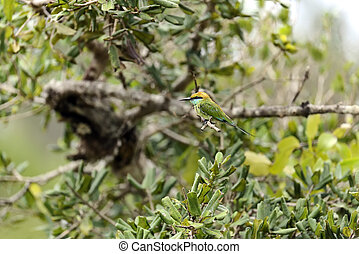 Bee-eater in the wild on the island of Sri Lanka