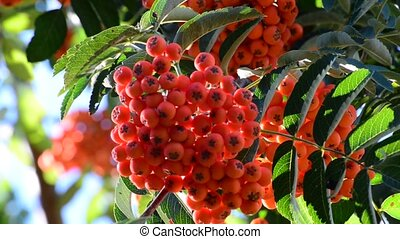 Rowan berries in summer - Rowan berries in a summer