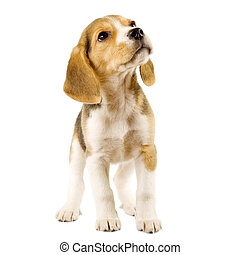 beagle puppy - Beagle (2 months) in front of white...