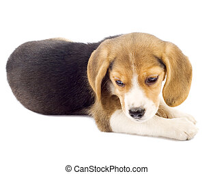 small beagle puppy lying down