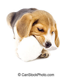 Adorable young beagle pup chewing on it\'s fur ball toy