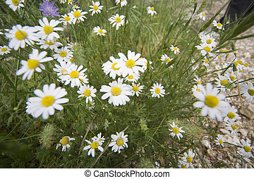 marguerites beside the road