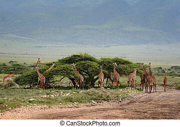 African scenery with a group of giraffes grazing - Herd wild...