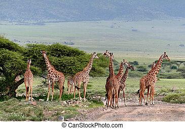 Herd wild herbivorous cloven-hoofed animals, giraffes...