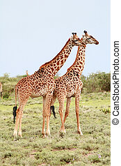 Pair giraffes in the African savannah on background bushes -...