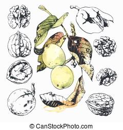 The Walnuts - Ink drawn illustration of walnuts in growth,...