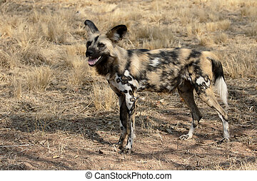 Cape hunting dog, Lycaon pictus, single mammal, South...