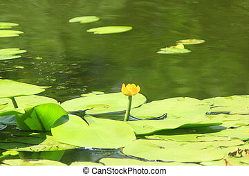 yellow flower of Nuphar lutea in the pond