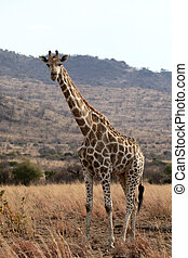 Giraffe, Giraffa camelopardalis, single mammal, South...