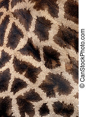 Giraffe, Giraffa camelopardalis, single mammal coat pattern,...