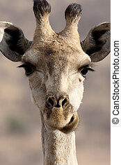 Giraffe, Giraffa camelopardalis, single mammal head shot,...
