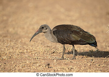Hadeda ibis, Bostrychia hagedash, single bird on ground,...