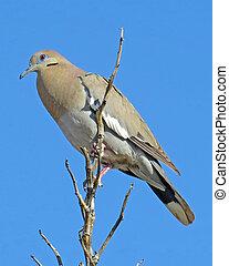White-winged Dove 2 - White-winged Dove (Zenaida asiatica)...