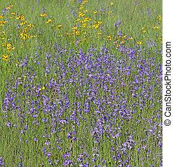 Field of Lobelia flowers