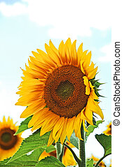 Sunflower Helianthus - Beautiful sunflower Helianthus under...