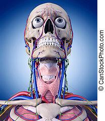 el, garganta, anatomía,