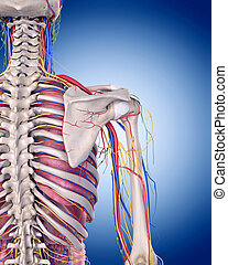 the shoulder anatomy - medically accurate illustration of...