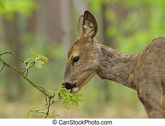 roe deer, - Roe deer eating fresh oak leaves