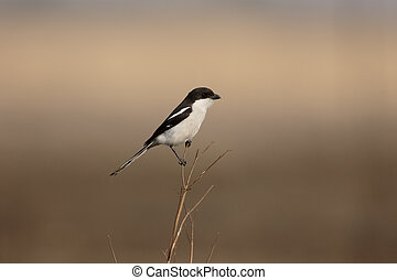 Southern Fiscal shrike, Lanius collaris, single bird on...