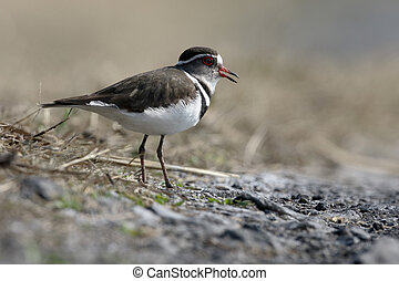 Three-banded plover, Charadrius tricollari, single bird on...