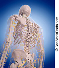 nerves of the back - medically accurate illustration -...