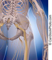 sciatic nerve - medically accurate illustration - sciatic...