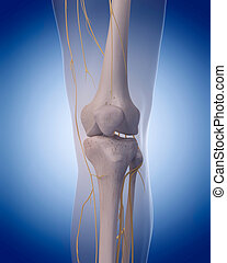 nerves of the knee - medically accurate illustration -...
