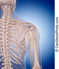 nerves of the shoulder - medically accurate illustration -...
