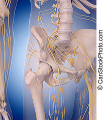 nerves of the hip - medically accurate illustration - nerves...