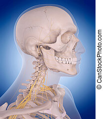 nerves of the neck - medically accurate illustration -...