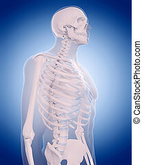 bones of the thorax - medically accurate illustration -...