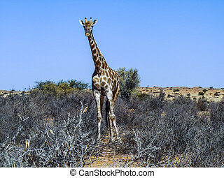 giraffe in Kgalagadi Transfrontier Park eats from the trees...