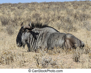 Buffalo in Kgalagadi Transfrontier Park relaxing in midday...