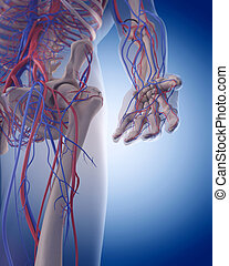 the circulatory system - the hand - medically accurate...