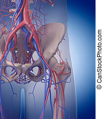 the circulatory system - hip - medically accurate...