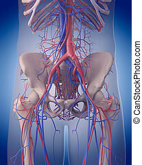 the circulatory system - abdomen - medically accurate...