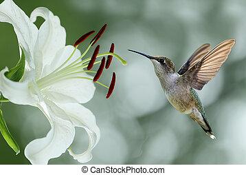 Hummingbird (archilochus colubris) hovering next to a pretty...