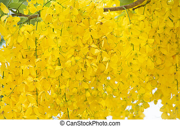 Cassia fistula flower   blooming on tree