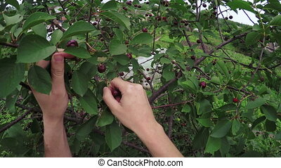 Picking berries - In garden green Cultivating beets