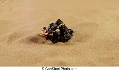 Top of unusual black marine seashell on sand, rotation,...