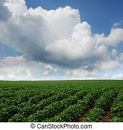 Soybean Field in South Dakota - Rows of soy beans growing in...