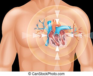 Human heart in close up diagram