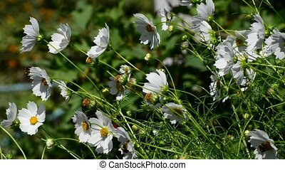 Close up white cosmos flowers in garden - Close up white...