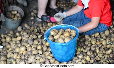 teenage boy and  woman sort the potato harvest